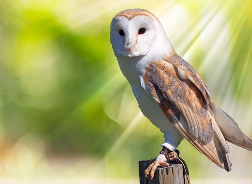 Volunteers for Wildlife- Owls